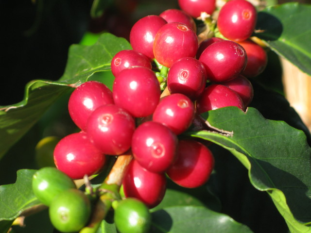 Image result for coffee berries